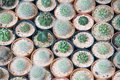 Array of small succulents in tiny pots Royalty Free Stock Image