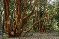 Arrayan forest chilean species of native trees of the of chile Royalty Free Stock Photo