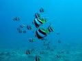 Arrecife de coral con el bajío de butterflyfishes Fotografía de archivo