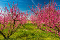 The arrival of spring in the blossoming of peach trees treated w Royalty Free Stock Photo