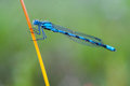 Arrow blue dragonfly sitting on a blade of grass Royalty Free Stock Photo