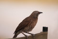 Arrow marked babble bird standing on a camp seat in moremi game reserve botswana Stock Images
