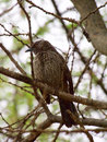 Arrow marked babbler an keeps a watchful eye on the photographer madikwe game reserve south africa Stock Images