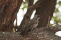 Arrow marked babblers two sitting on a branch Stock Images