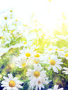 Art bright summer flowers natural background sunny Royalty Free Stock Image