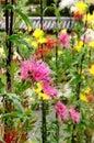 Art of chrysanthemum saga kiku flowers kyoto japan japanese traditional gardening at japanese garden in jaoan autumn Royalty Free Stock Photo