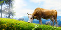 Art cow grazing in a mountain meadow; ecological livestock Royalty Free Stock Photo