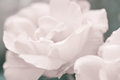 Art floral background with rose flower vintage style selective focus Royalty Free Stock Images