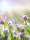 Art spring natural background, wild clover flowers Royalty Free Stock Photo