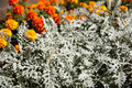 Artemisia stelleriana and tagetes silver plant orange yellow flowers of Royalty Free Stock Image