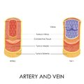 Artery and vein vector illustration of diagram of Stock Image