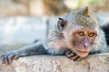 Artful monkey ready to grab Royalty Free Stock Images