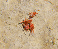 Arthropod mites on the ground. Close up macro Red velvet mite or Royalty Free Stock Photo