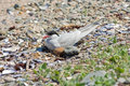 Artic Tern on nest Royalty Free Stock Photo
