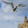 Artic tern one in flight on the farne islands Royalty Free Stock Images