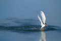 Artic Tern Retrieving A Fish Royalty Free Stock Photo