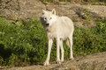 Artic wolf white in wild life montebello park in outaouais quebec canada Stock Image