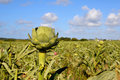 Artichoke field Royalty Free Stock Photo