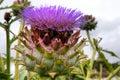 Artichoke flower Royalty Free Stock Photo
