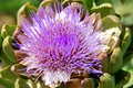Artichoke the flowers develop in a large head from an edible bud about – centimetres – in diameter with numerous triangular Royalty Free Stock Photos