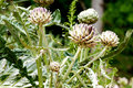 Artichoke plant ripening in vegetable garden Royalty Free Stock Photos