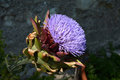 Artichoke purple flower profile side view of an cynara scolymus in blooming showing a big with the fruit in green Stock Photos