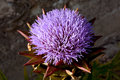 Artichoke purple flower top view on an cynara scolymus in blooming showing a big Royalty Free Stock Image