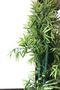 Artificial bamboo tree beside the white wall Stock Photos