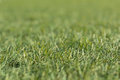 Artificial green grass shot low down and close up with small depth of focus. Royalty Free Stock Photo