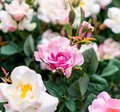 Artificial pink and white rose flowers for decoration Royalty Free Stock Photo