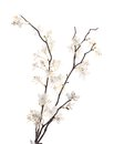 Artificial white sakura flower isolated branches over the background Stock Photo
