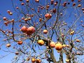 Artistic image of orange or peachish fruits on tree the fruits just pop out at you good for album cover art design an photo some a Stock Photos