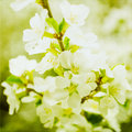 Artistic Spring Apple Blossoms Royalty Free Stock Image