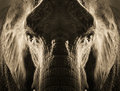 Artistic symmetrical elephant portrait in sepia tone with dramatic backlighting this rendering of an strong makes for a powerful Stock Photography