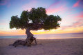 Aruba Divi Divi Tree Royalty Free Stock Photo
