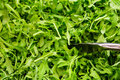 Arugula greens healthy with serving tongs Stock Image