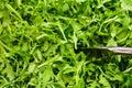 Arugula greens Royalty Free Stock Photo