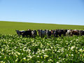 Arum Lillie field with Nguni cattle Stock Photo