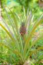 As growing pineapple Royalty Free Stock Photo
