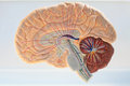 Ascending pathways of the brain scheme ways closeup at anatomy drug Stock Photos