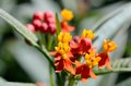 Asclepias curassavica. Royalty Free Stock Images
