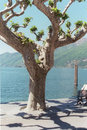 Ascona Tree Royalty Free Stock Photo