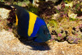 Asfur Angelfish (Pomacanthus asfur) in Aquarium Royalty Free Stock Photography