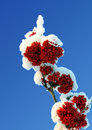 Ash-berry red branches under snow Royalty Free Stock Images