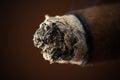 Ash big cigar close up Stock Photography