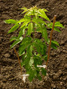 Ash leaved maple sapling more than three months from germination Royalty Free Stock Image