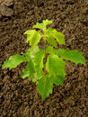 Ash leaved maple sapling two and half months from germination Stock Image