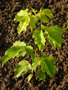 Ash leaved maple sapling two and half months from germination Stock Photos