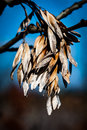 Ash seeds in winter Royalty Free Stock Photo