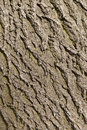 Ash tree bark texture Royalty Free Stock Photo